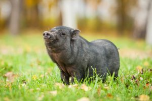 black mini pig in the green grass
