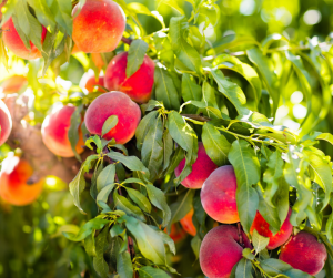 Fruit Tree - Apple Tree with ripe apples